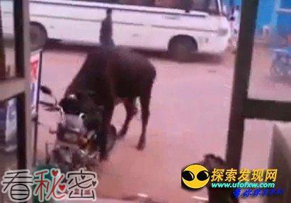 发情公牛恋上路边摩托车身躯庞大将其压垮(图)
