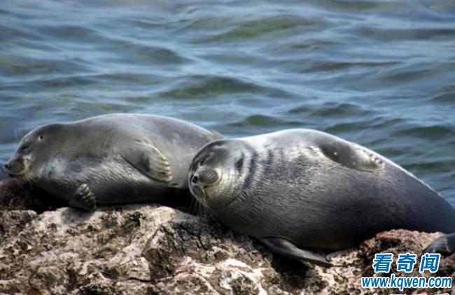 未解之谜:贝加尔湖的海豹是从哪里来的?