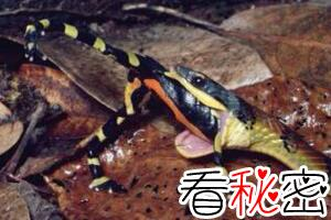 南美箭毒蛙的天敌是什么,能免疫蛙毒的蛇(专杀箭毒幼蛙)