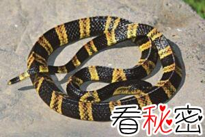中国致命毒蛇金环蛇,身怀剧毒却能吃能泡酒(图片)