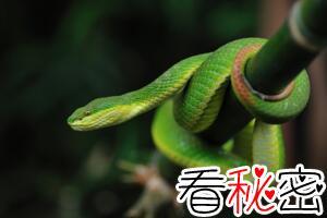中国毒蛇白唇竹叶青蛇,被咬后轻者截肢重者毙命(图片)