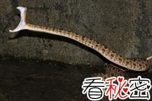 原矛头蝮龟壳花蛇,0.12毫克毒液让人溃烂致死(咬伤图片)