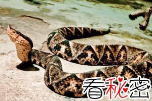 五步蛇尖吻蝮有多毒,五步必死是夸大(五步蛇泡酒视频)
