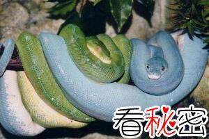 澳大利亚绿树蟒,变异蓝化成蓝血蟒价值330万(图片)