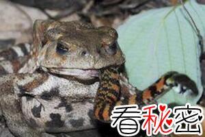 食蛇蛙天生免疫蛇毒,最爱吃响尾蛇(食蛇蛙吃蛇视频)