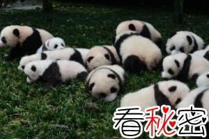 解析历史上大熊猫之迷,熊猫真名叫猫熊(中国最古老生物)