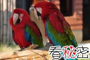 鹦鹉学舌的秘密,大脑结构奇特/模仿人类语言(脑力惊人)