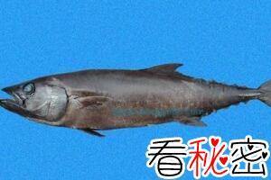 最常见的棘鳞蛇鲭油鱼,让你疼痛腹泻的毒鱼(你肯定吃过)