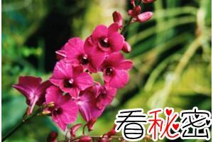 新加坡的国花是什么花,胡姬花/兰花(新加坡国花的含义)