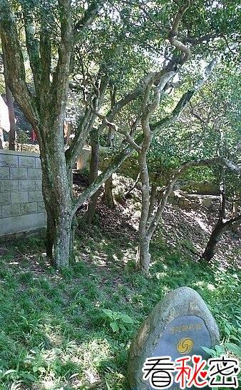 世界上最稀有的树--普陀鹅耳枥 地球仅存一株