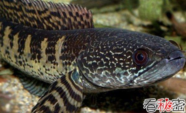 世界最具侵略性的10种鱼类 食蚊鱼/大口黑鲈榜上有名