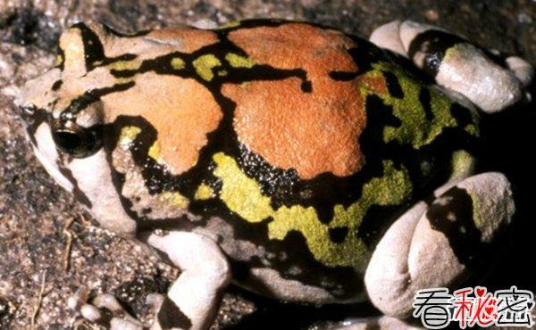 全世界最漂亮的10种青蛙 第八装死高手,第四美到惊艳
