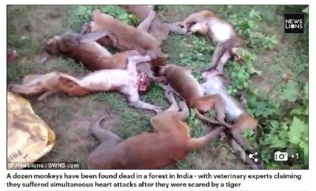 12只野猴集体心脏病发 疑似老虎吼声吓死