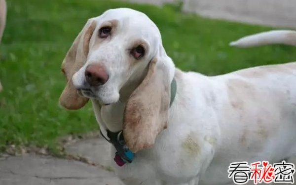 什么狗嗅觉能力最好?世界上嗅觉最灵敏的十种狗