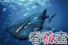 世界上最大的鱼 最长可达20米专吃浮游生物