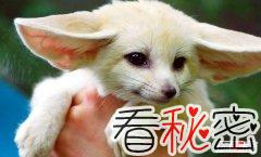 世界上最小的狐狸 耳廓狐个子娇小大耳朵超萌
