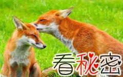世界上最大的狐狸 赤狐分布范围广毛色差异巨大