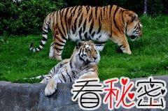 世界最大的老虎780公斤?前苏联捕捉到780公斤老虎?