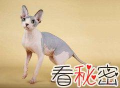 世界十大最丑的猫 第一价格昂贵丑到窒息