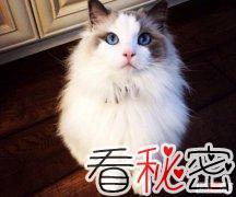 世界上颜值最高十种猫 第一长相迷人称之为仙女猫