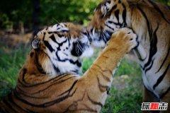 世界上最大的老虎:体长3米体重350千克(不到500头)