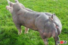 世界上最强壮的猪:杜洛克猪身体一半是肌肉(吃不起)