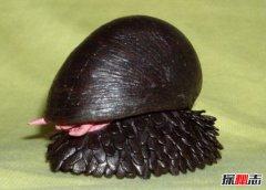 世上壳最硬的蜗牛:鳞角腹足蜗牛子弹都不怕(自带盔甲)