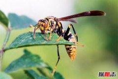 世界五大毒蜂:第一杀人蜂一口致命(1000多人丧命)