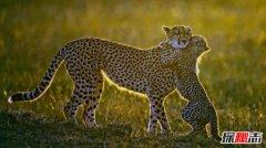 世界十大禁养名猫:第1速度极快第4超级凶猛可吃人