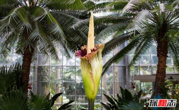 世界上最高的花:巨魔芋高达10英尺多(尸体腐烂味)