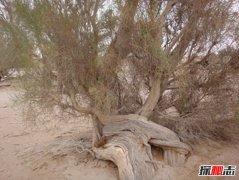 沙漠最顽强的植物:抗热抗旱抗寒的梭梭(优良固沙植物)