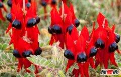 沙漠中最顽强的花:长眼睛会变色沙漠豆花(形似外星物种)