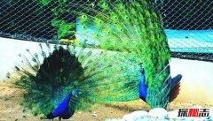 最像凤凰的五种鸟 第二身姿优雅第五尾巴可达12米长