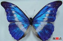 世界最美的蝴蝶 光明女神闪蝶(曾被拍卖36万人民币)
