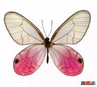 世界最稀有的蝴蝶:玫瑰水晶眼蝶(十分罕见)