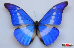爱神闪蝶:闪亮美丽的蓝色蝴蝶(光芒丰富)