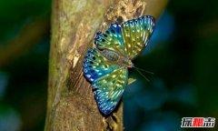 蓝光骇客电蛱蝶 天空中飞舞的斑点蝶