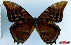 世界上独一无二的蝴蝶 星褐闪蝶(褐色的闪蝶)