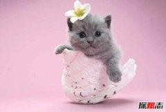 哪种猫最温顺最粘人 十种适合养在家里的猫