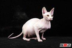 什么品种猫掉毛少?盘点世界十大不掉毛猫咪