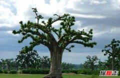 笑树为什么会笑?哈哈树的原理是什么