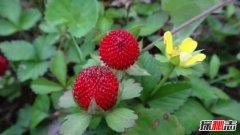 蛇莓附近有蛇吗?蛇莓可以直接吃吗