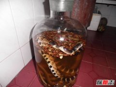 蛇泡酒里为啥不腐烂?蛇泡酒怎样保证健康