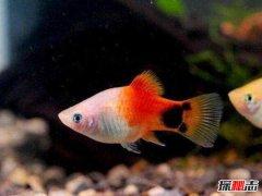 最好养的热带鱼排行 十大养不死的热带鱼盘点