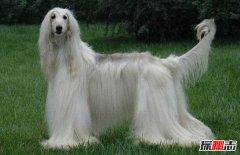哪些狗智商最低?世界十大智商最低的狗
