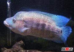 世界十大凶猛观赏鱼 黑色食人鱼咬合力为自身体重30倍