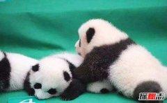 野生熊猫的杀伤力有多强?狮子老虎不敢轻易招惹