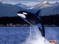 虎鲸为什么叫杀人鲸 从不攻击人类太委屈(答案意想不到)
