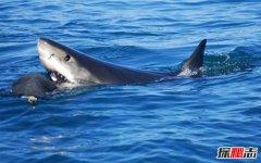 """""""海洋霸王""""虎鲸连大白鲨都不怕 为什么独对人类迷之友好"""