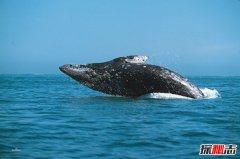 鬼鲸是什么鲸鱼?为什么被称为鬼鲸